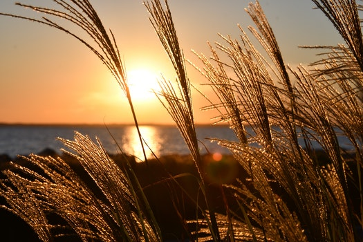 Closeup Photo Of Wheat During Golden Hour