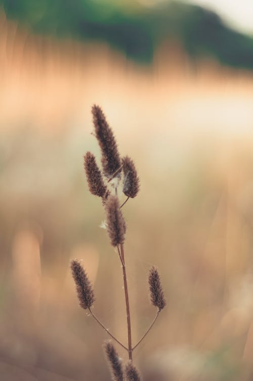 Closeup of rabbit tail grass on thin stem growing on untouched grassy field