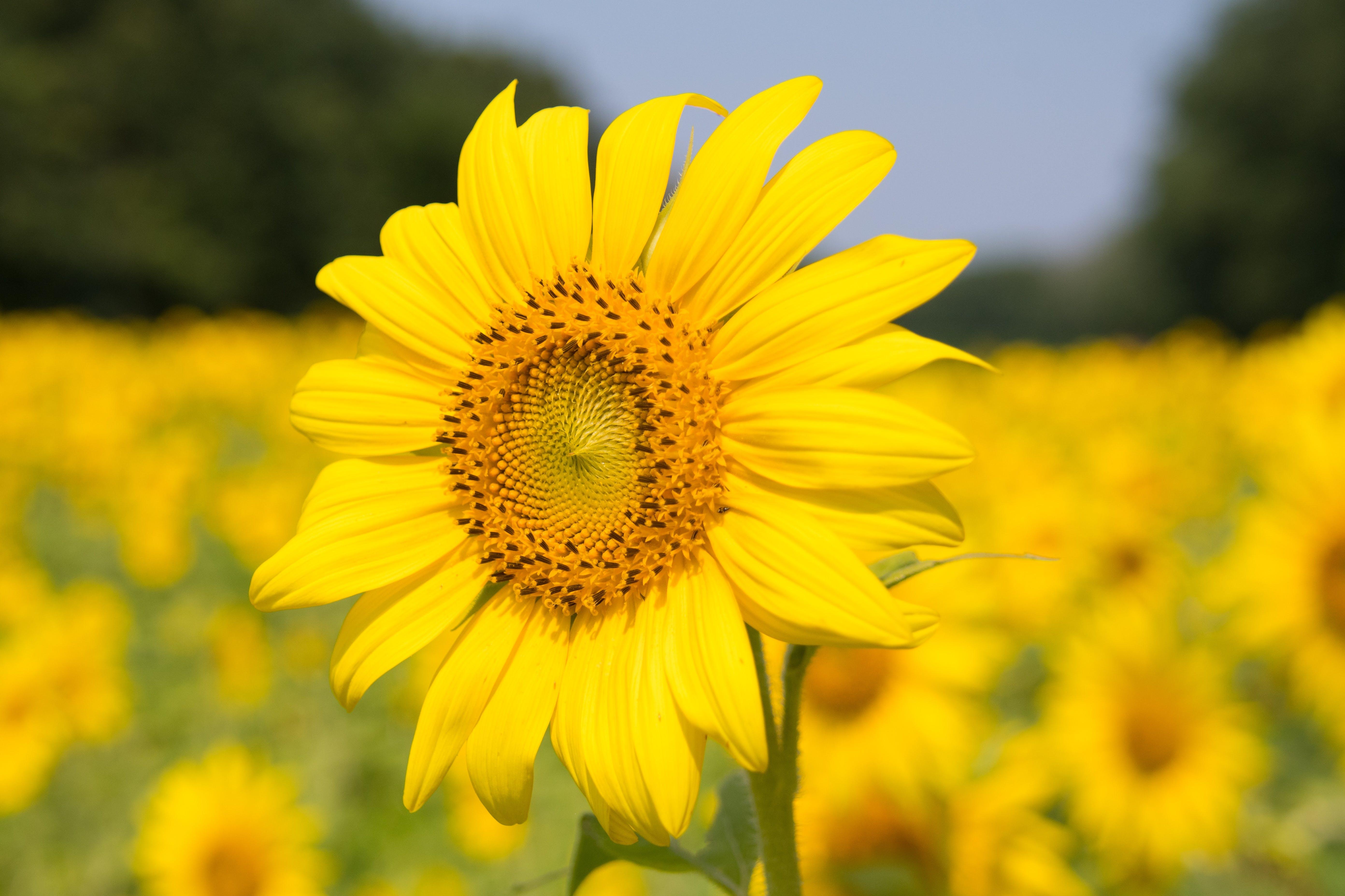 Sunflower Plant