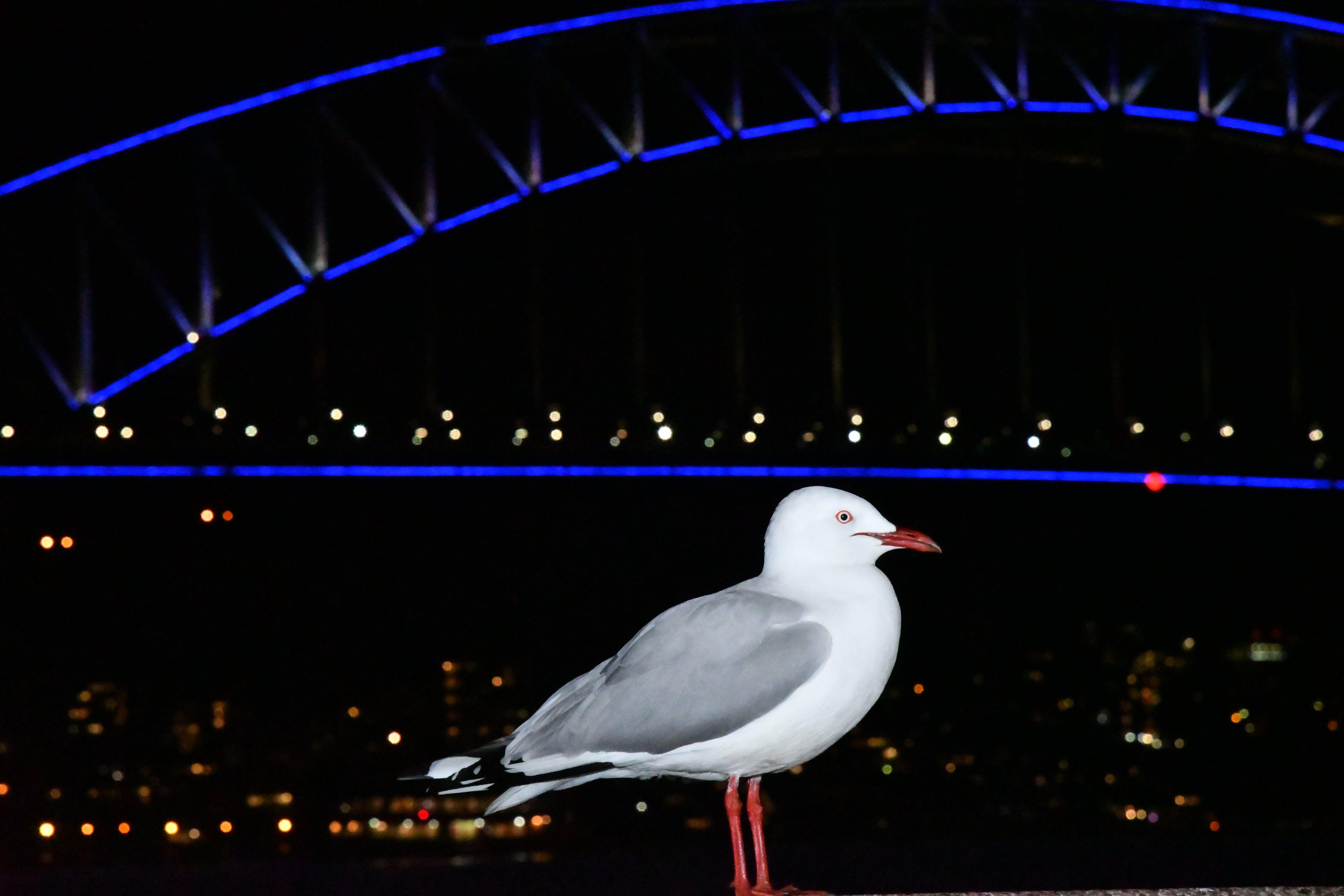 Free stock photo of seagull, Sydney Harbour Bridge