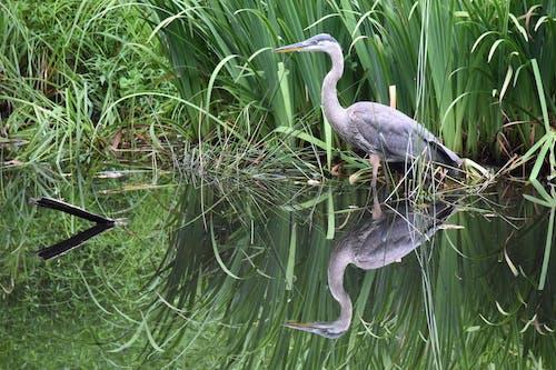 balıkçıl, bataklık, çim, doğa içeren Ücretsiz stok fotoğraf