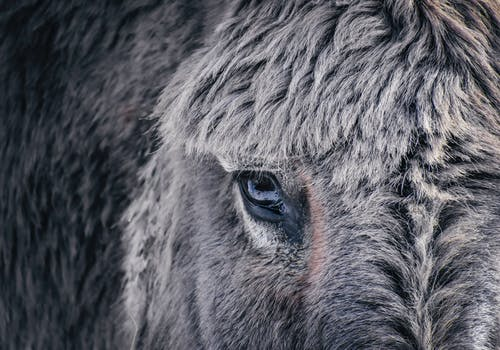 Muzzle of gray haired domesticated donkey