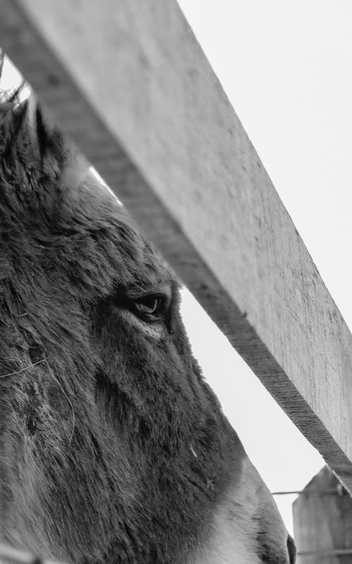 Black and white low angle of donkey snout in paddock in farm in village
