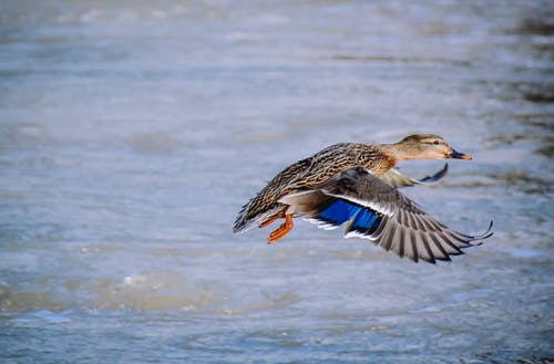 Single duck flying over rippling water