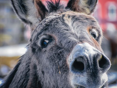 Donkey with gray fur in farm