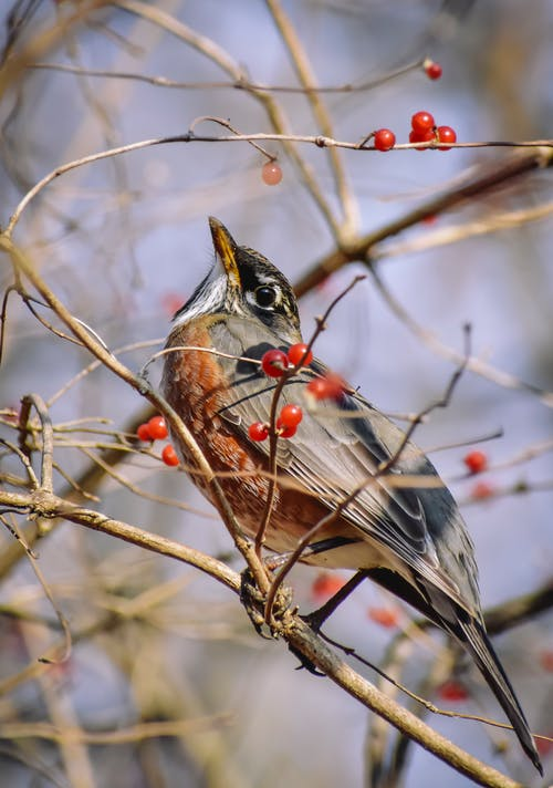 Small American robin with red chest on leafless twig of tree with ripe red berries in forest on blurred background