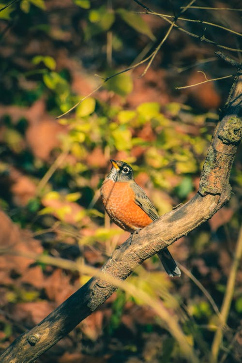American robin sitting on branch in forest
