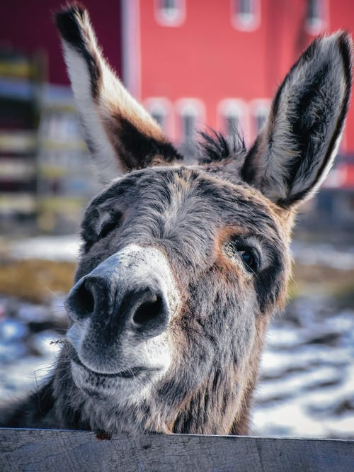 Cute domestic donkey with gray fur standing near wooden fence in snowy paddock against building on blurred background in countryside