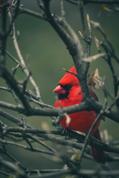 Cute northern cardinal with red plumage and black mask sitting on leafless tree branches in wild woods on blurred background