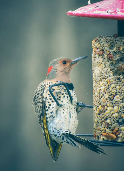 Bright northern flicker with black spots and red bar on nape of neck sitting on peanut feeder in nature on blurred background