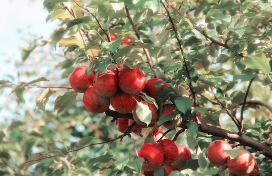 Red Apples