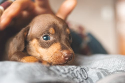 Adorable little Dachshund puppy with brown fur lying on cozy mattress and looking away