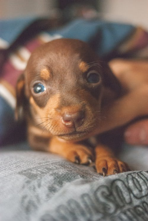 Cute little Dachshund puppy with shiny brown fur and blue eyes lying on comfortable bed