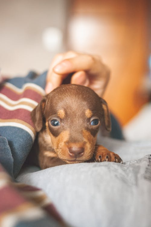 Crop unrecognizable owner stroking adorable Dachshund puppy on bed