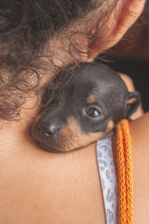 Cute sweet Dachshund puppy with black fur lying on unrecognizable female owner shoulder