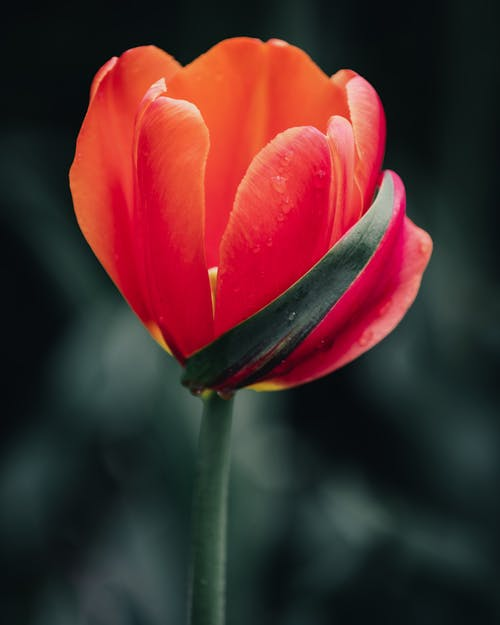 Blooming delicate tulip growing in garden
