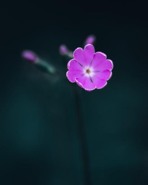 Gentle blooming Primula sieboldii flower growing in garden