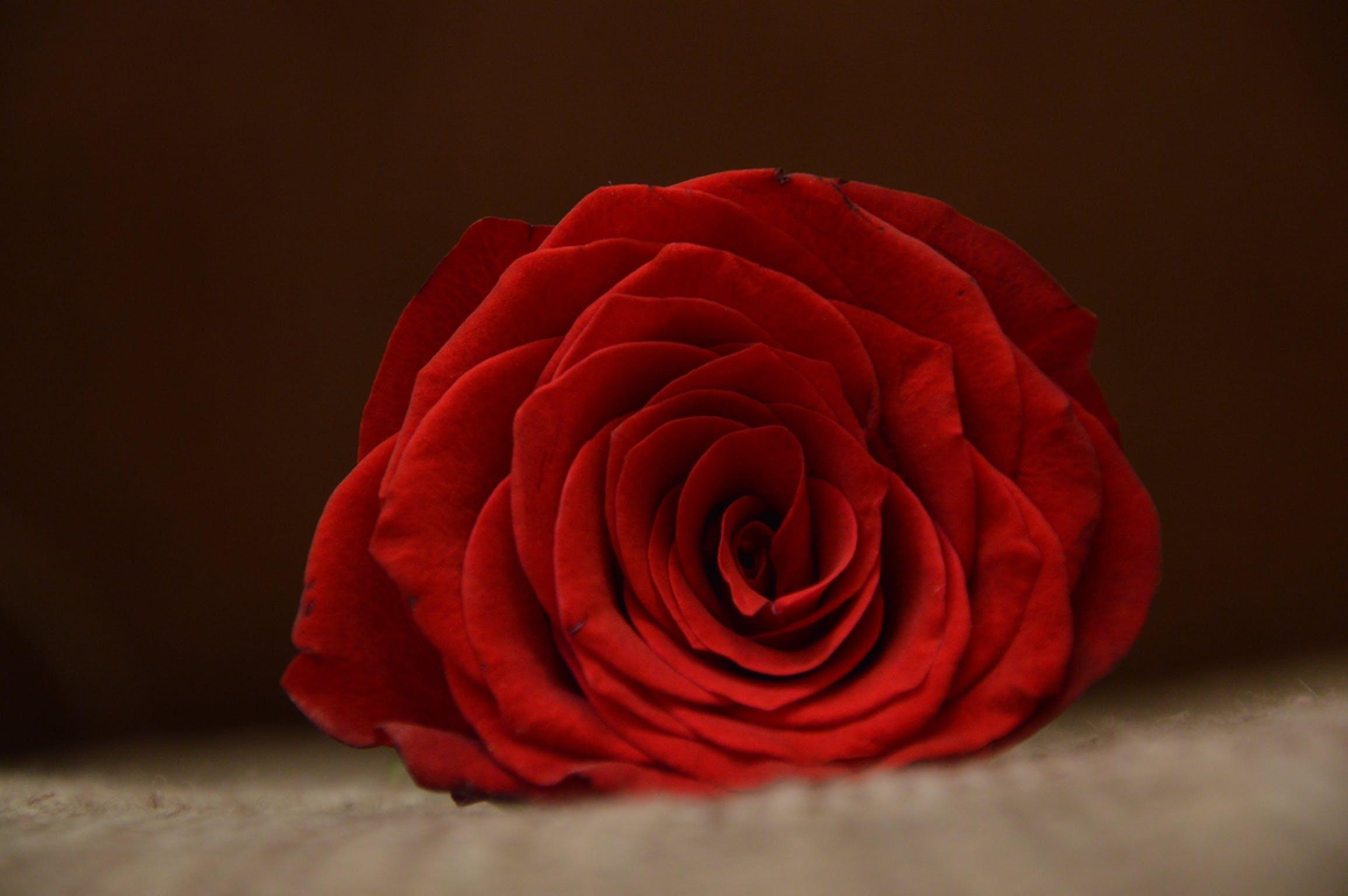Kostenloses Stock Foto zu blume, blütenblätter, duft, knospe