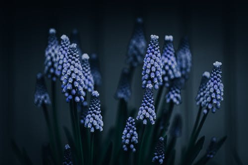 Stems of blooming Armenian grape hyacinths with purple bell shaped flowers growing on meadow