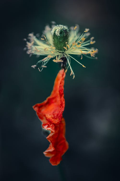 Closeup of stem of withered opium poppy flower growing on field against blurred background