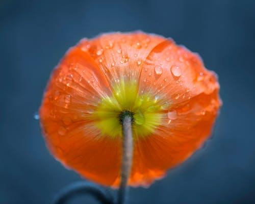 Morning dew on petals of Papaver nudicaule flowers in sunlight