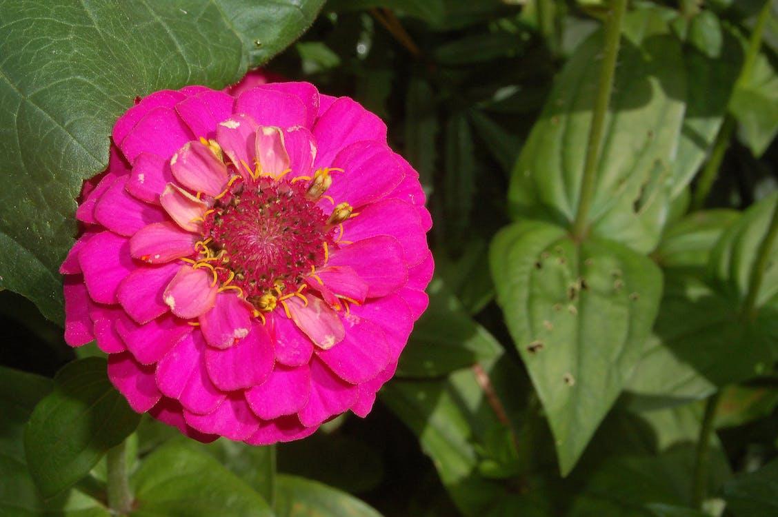blomma, rosor