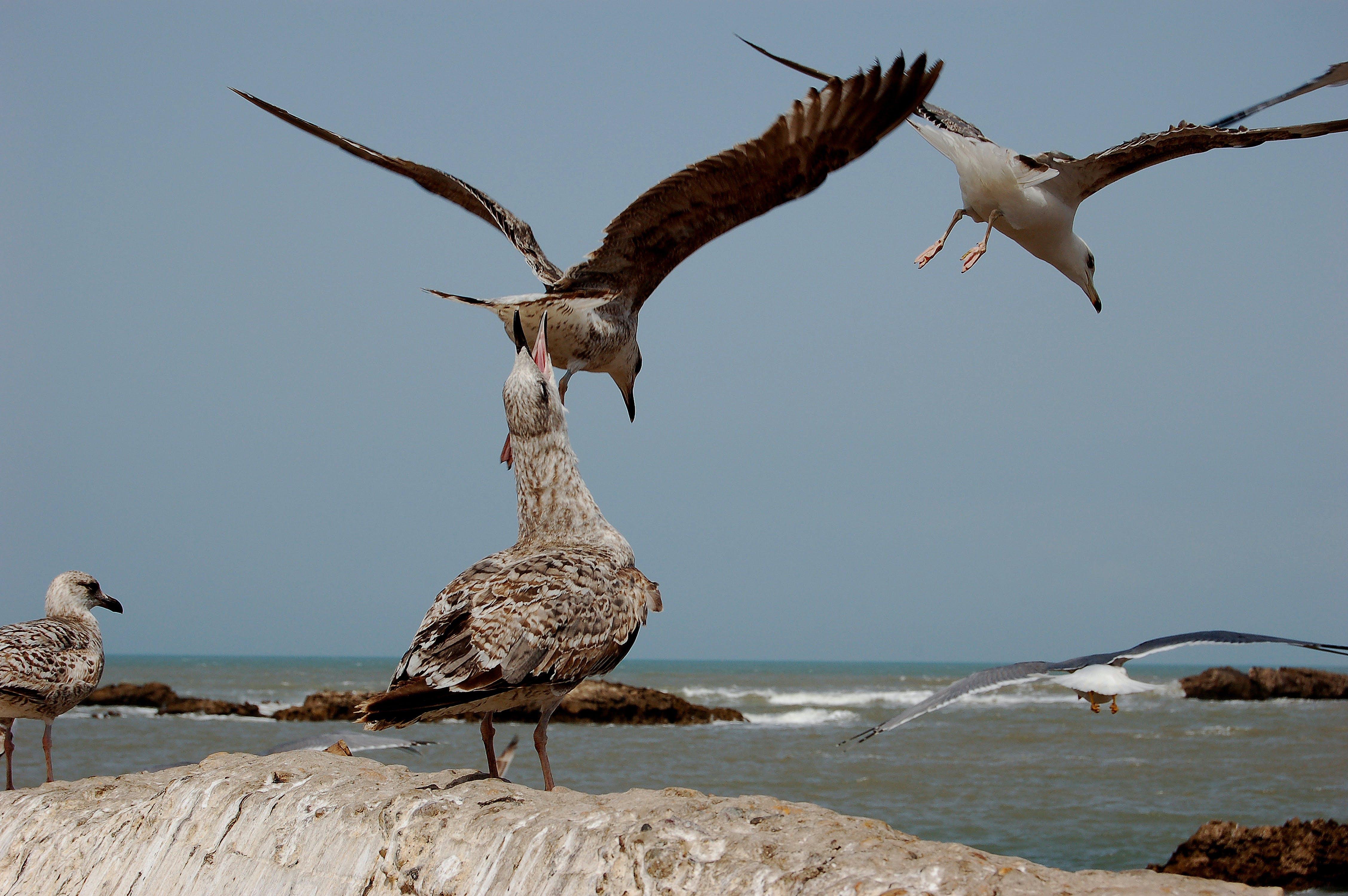 Free stock photo of bird, gulls