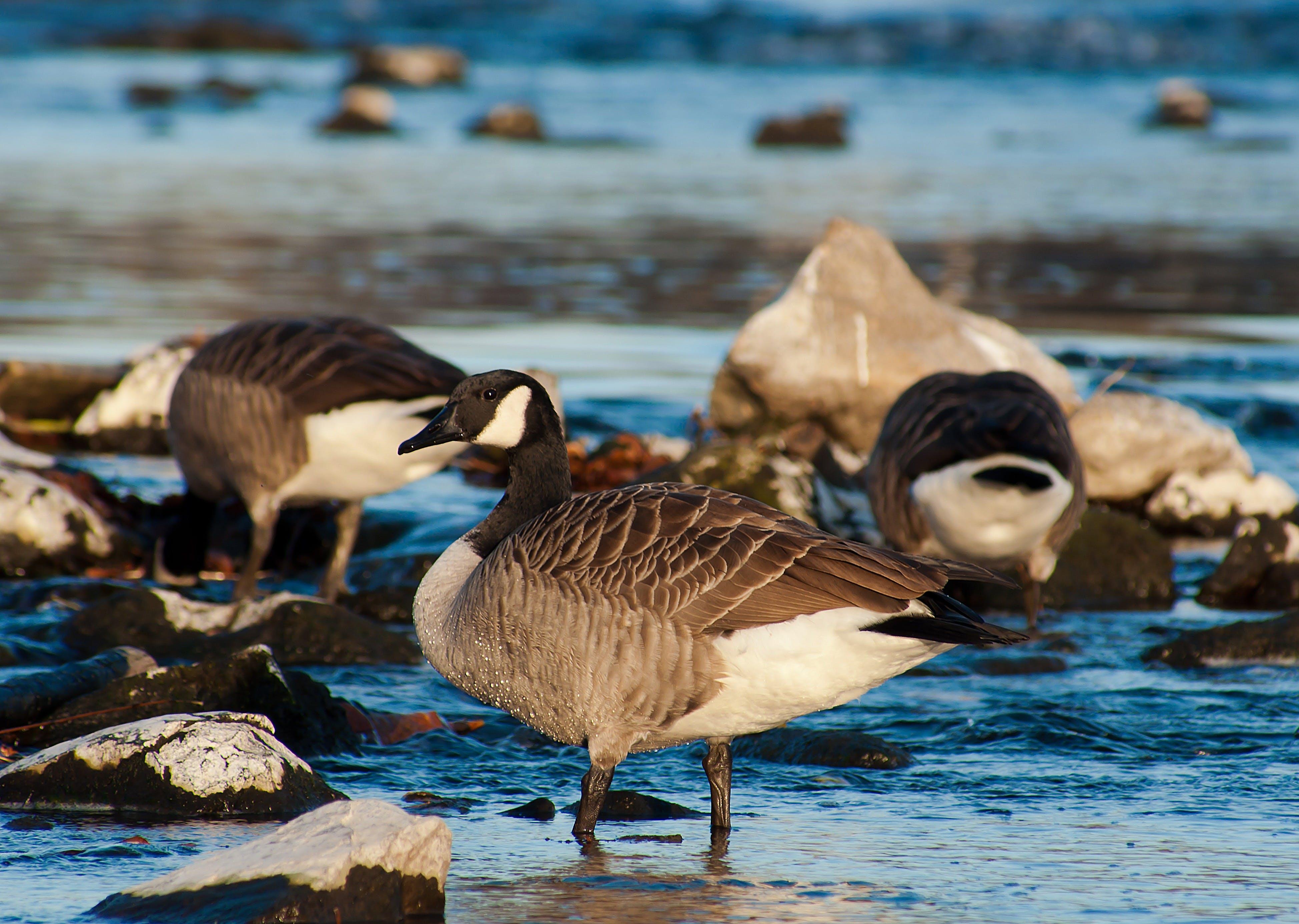 Mallard Ducks on Body of Water