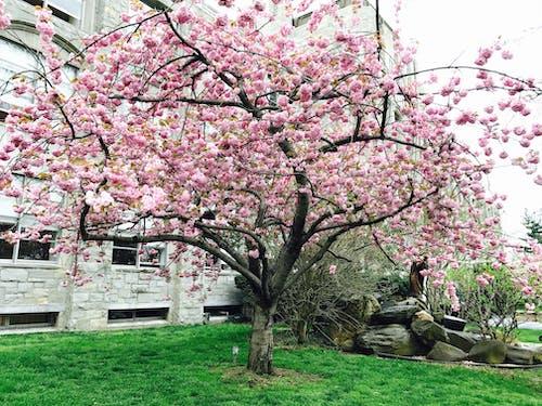 Foto stok gratis bunga musim semi, bunga sakura, bunga-bunga, cabang