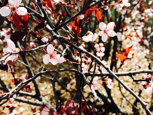Foto stok gratis berfokus, bunga musim semi, bunga sakura, bunga-bunga