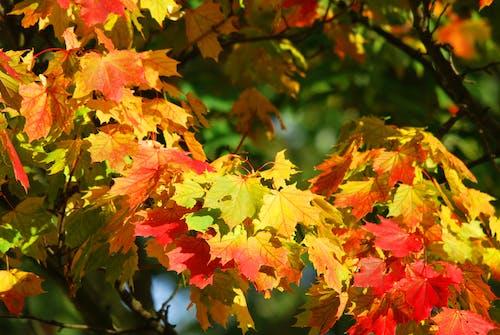 Imagine de stoc gratuită din arbore, arțar, frunze îngălbenite
