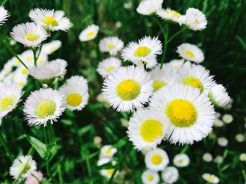 Foto stok gratis bagus, botani, bunga putih, bunga-bunga