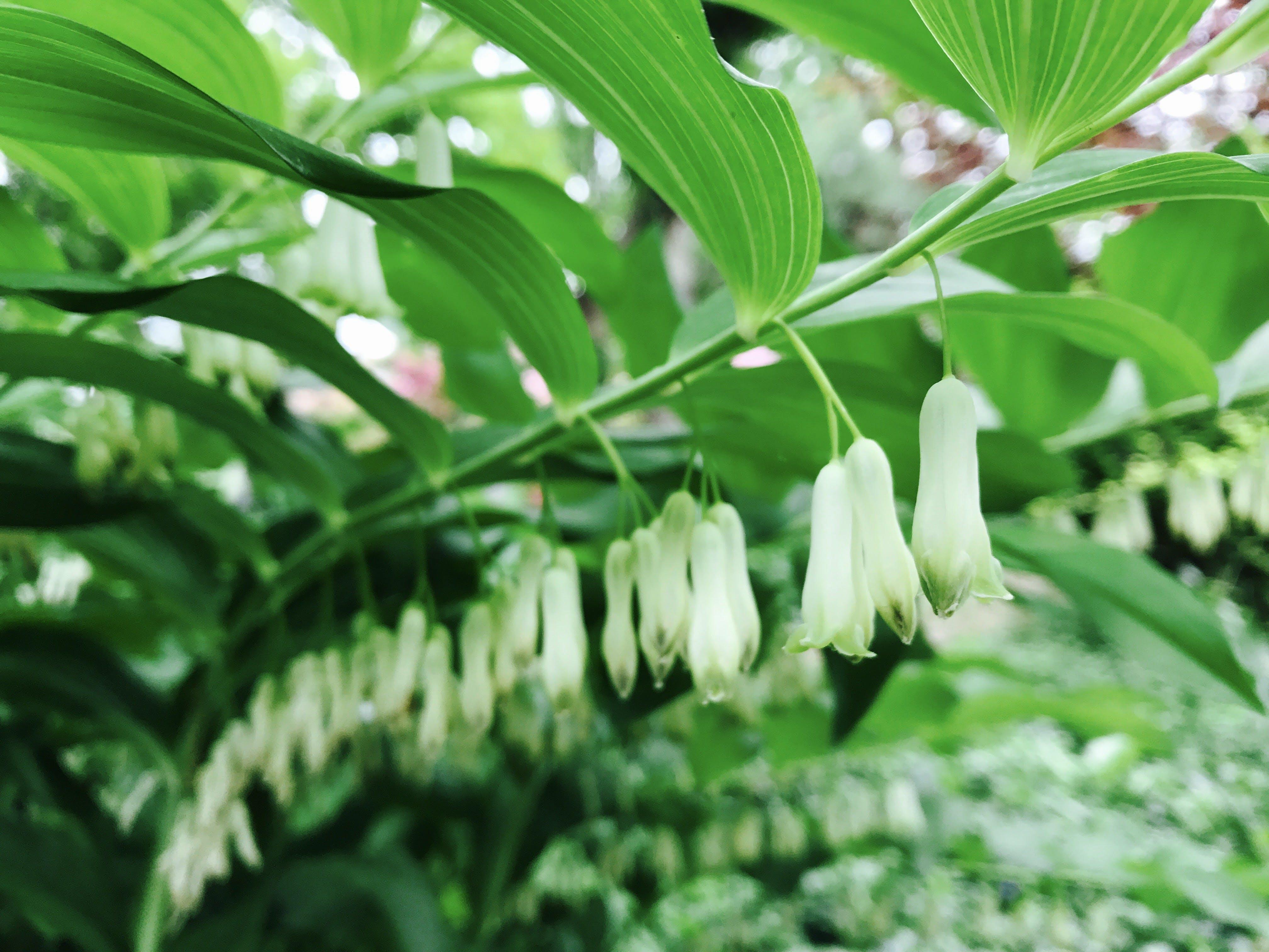 Free stock photo of bell, botanical, botany, evergreen