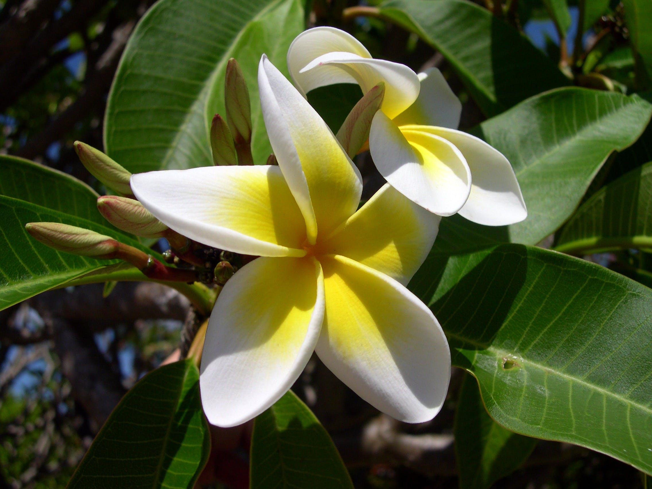 White Yellow Plumeria Flower in Bloom during Day Time