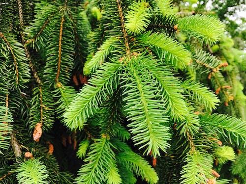 Foto stok gratis alam, biji pinus, botani, hijau