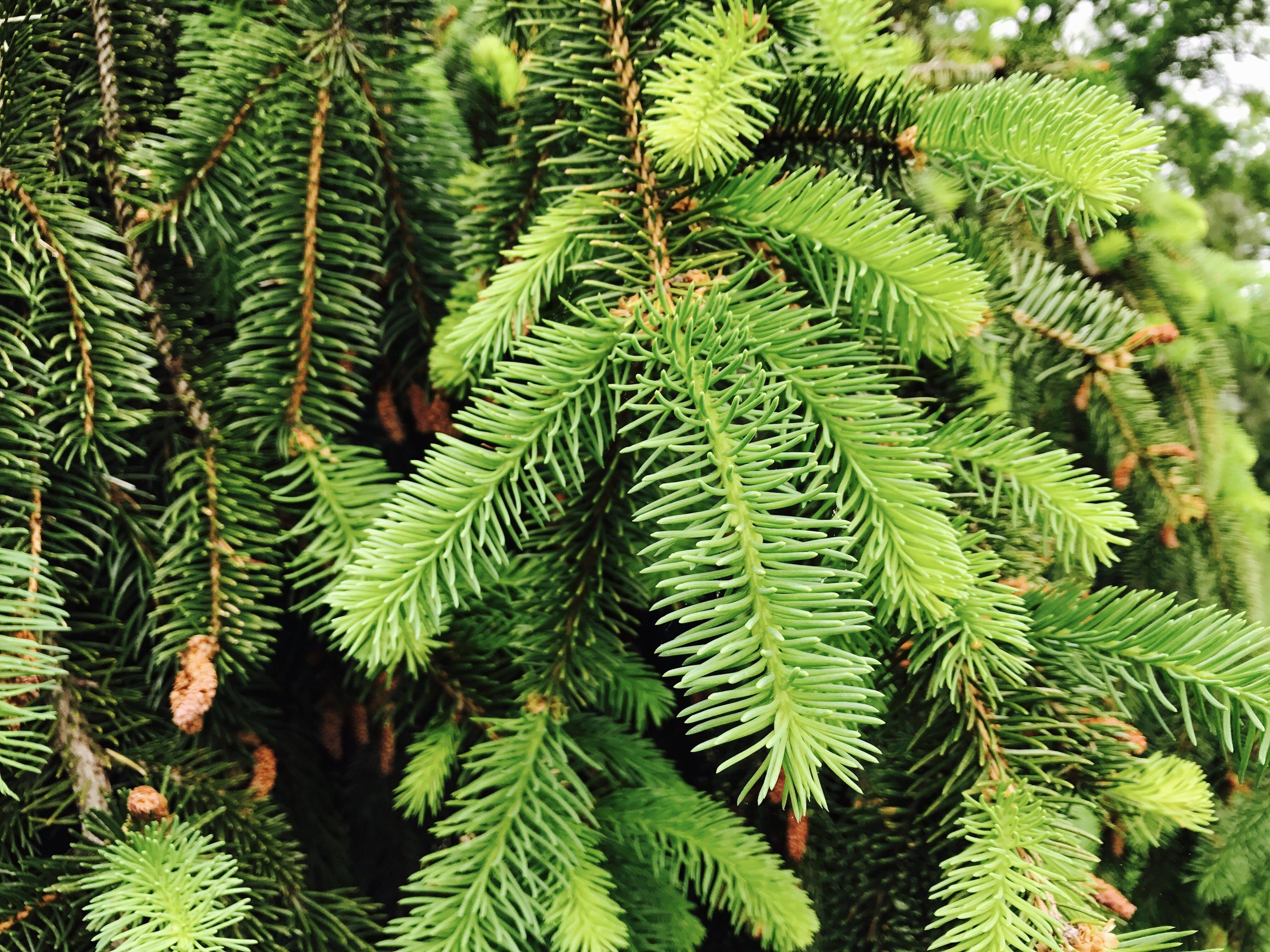 Kostenloses Stock Foto zu ast, baum, immergrün, nadelbaum