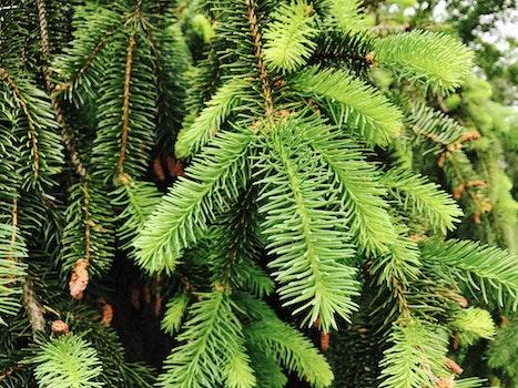 Closeup Conifer Tree