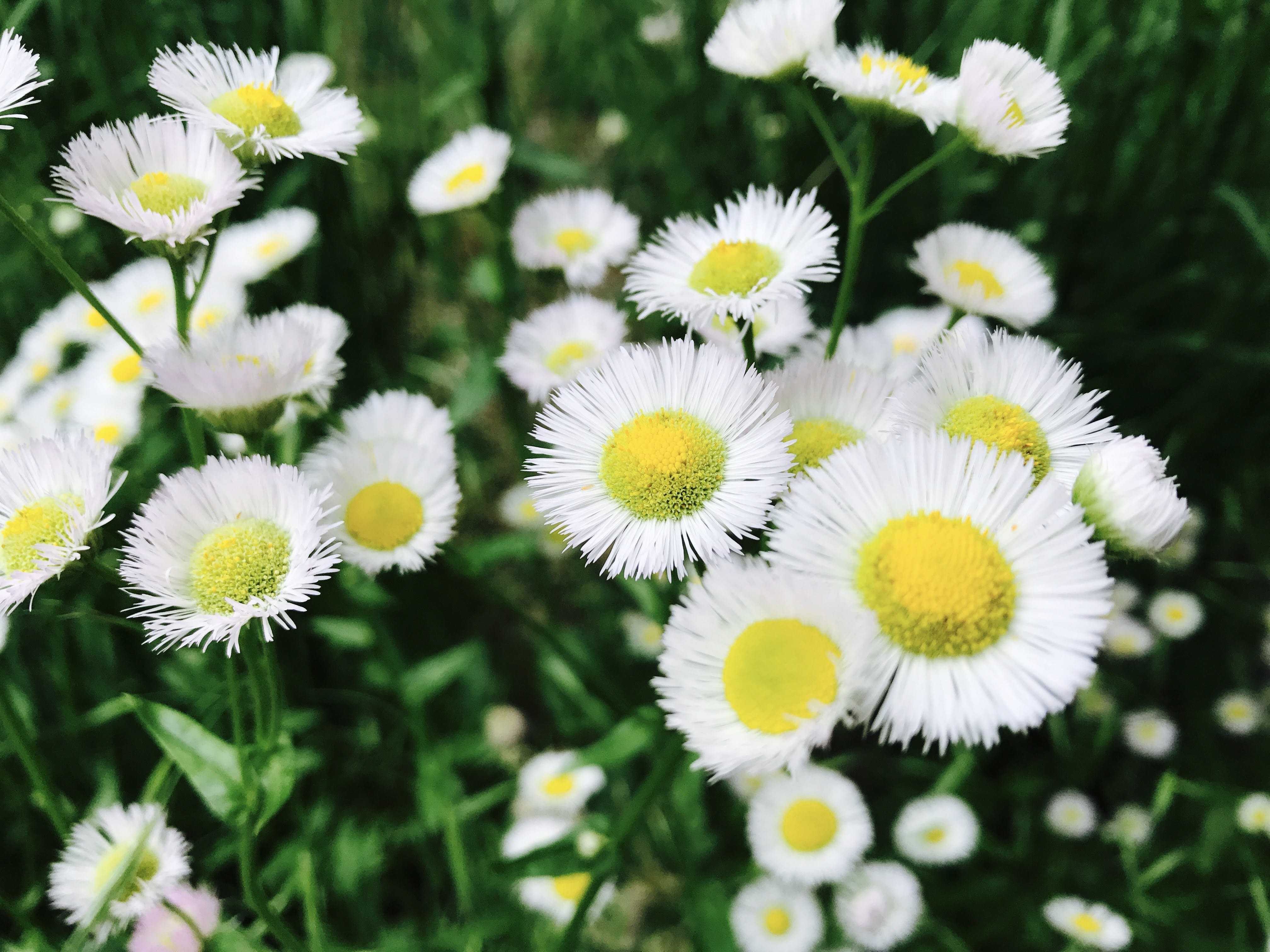 Ilmainen kuvapankkikuva tunnisteilla hauras, kamomilla, kasvikunta, kasvu