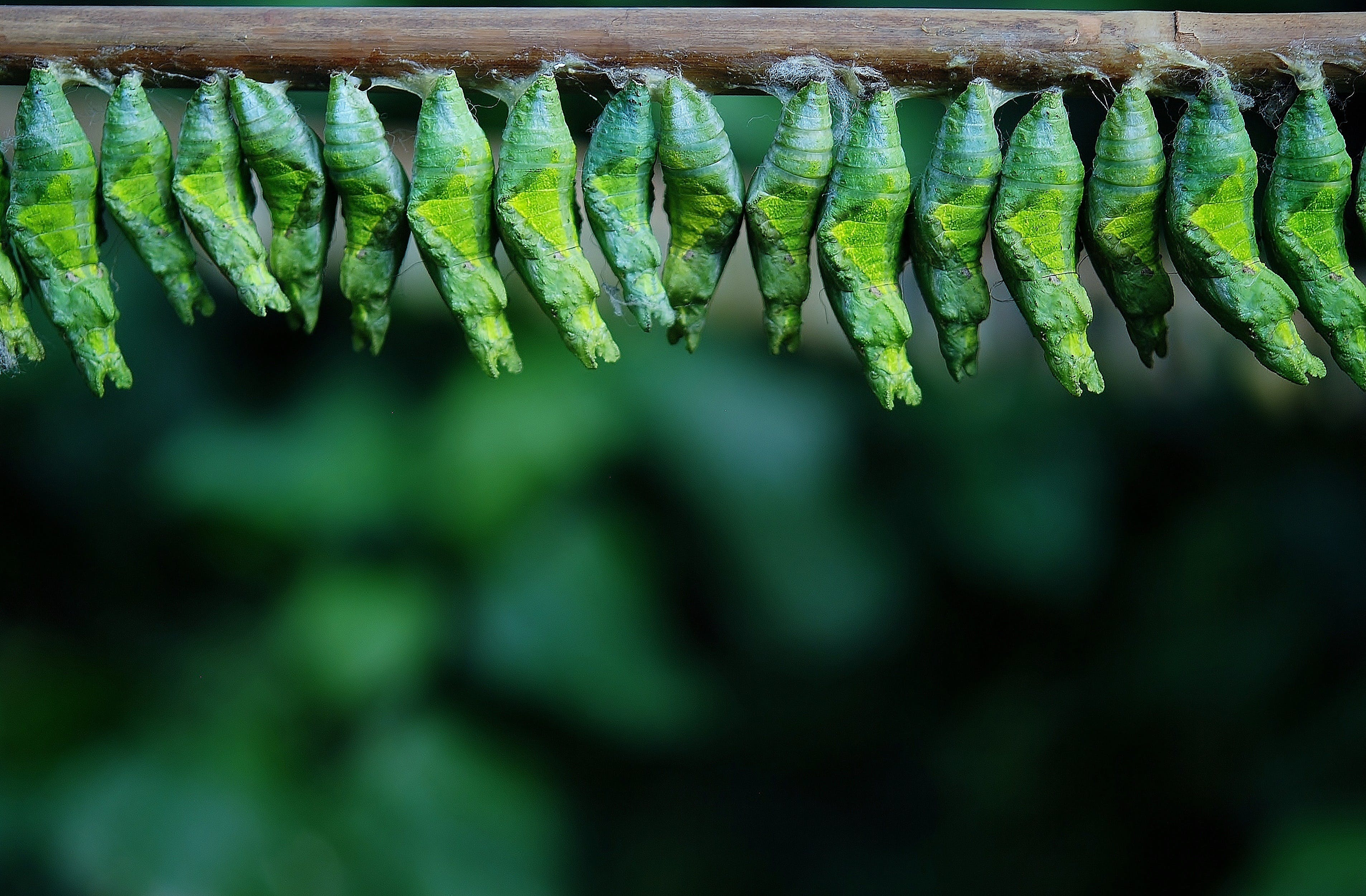 Green Cocoons on Tree Branch