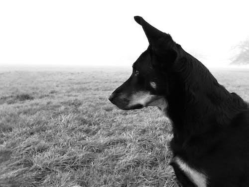 Free stock photo of beauceron, dog