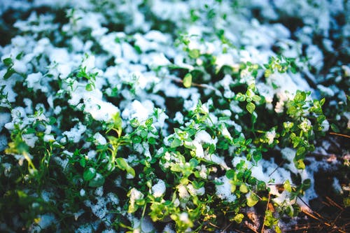 Green plants covered with first snow
