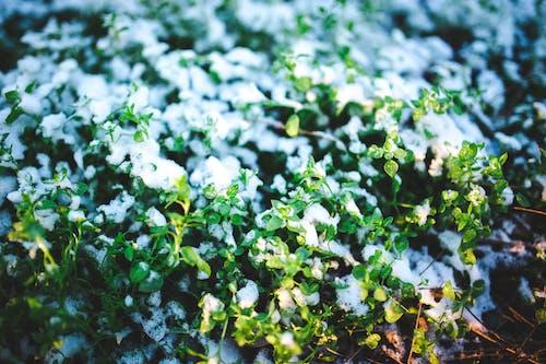 Fotobanka sbezplatnými fotkami na tému biela, čerstvý, rastliny, sneh