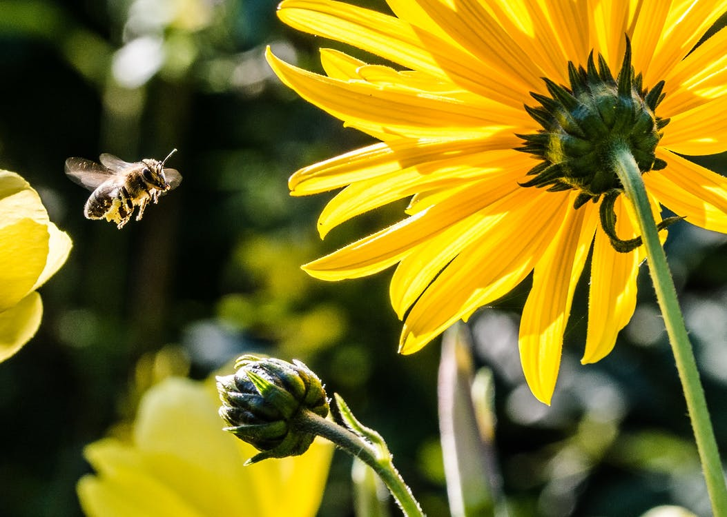 Yellow Petaled Flower With Black Yellow Bee during Daytime Focus Photography