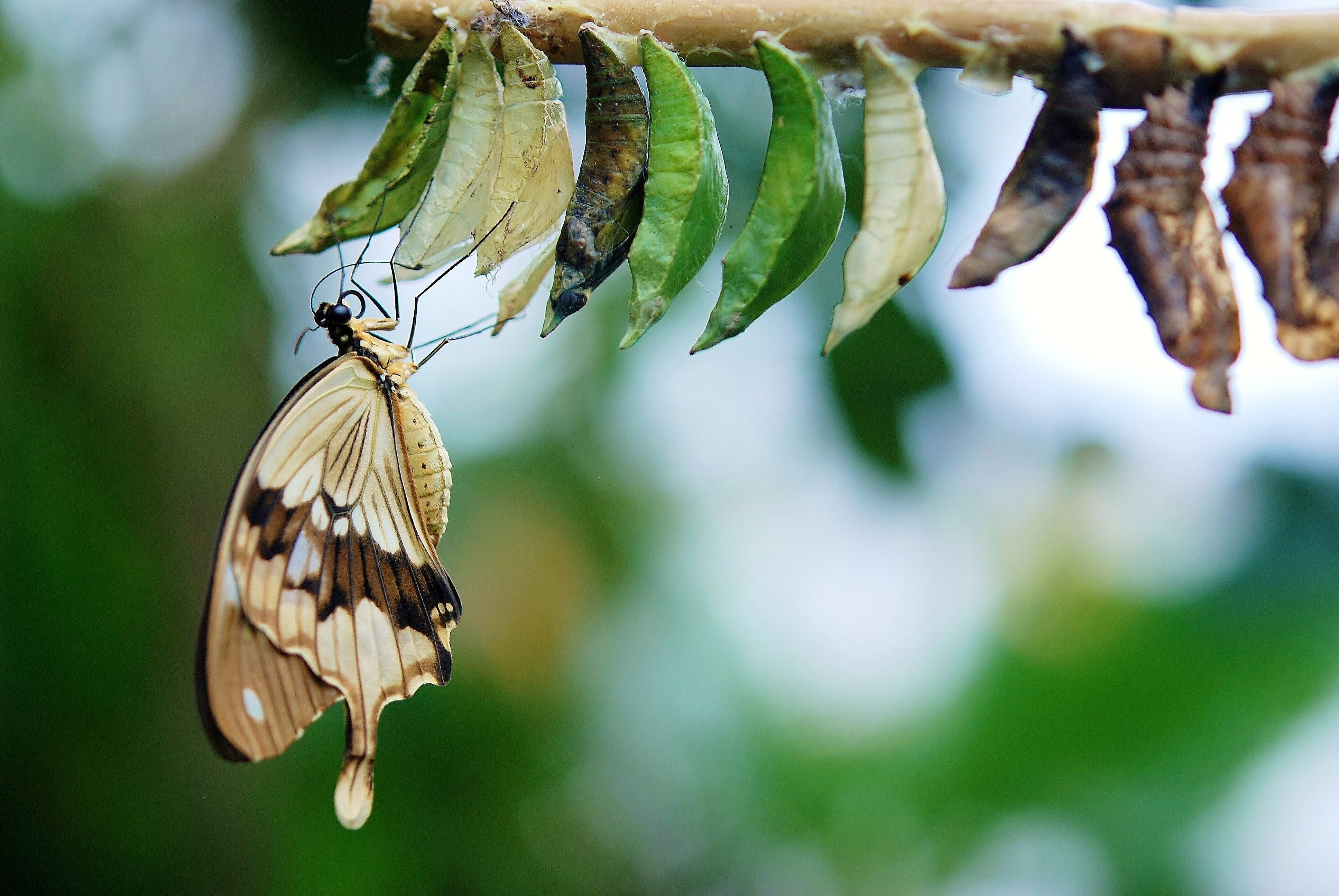 Brown and White Swallowtail Butterfly Under White Green and Brown Cocoon in Shallow Focus Lens