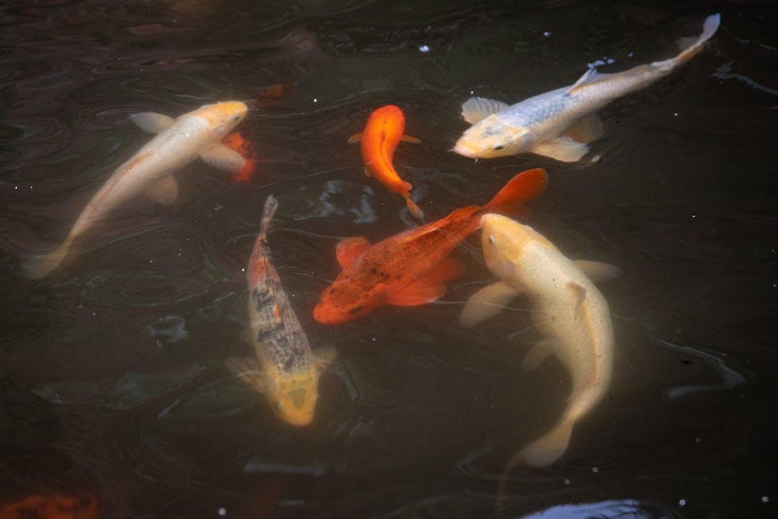 Ornamental Fishes Underwater