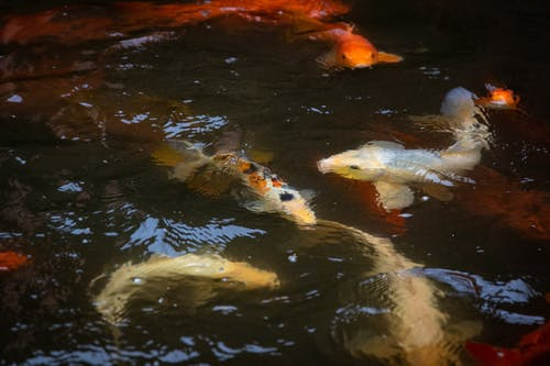 Photos gratuites de animal aquatique, animal marin, carpe