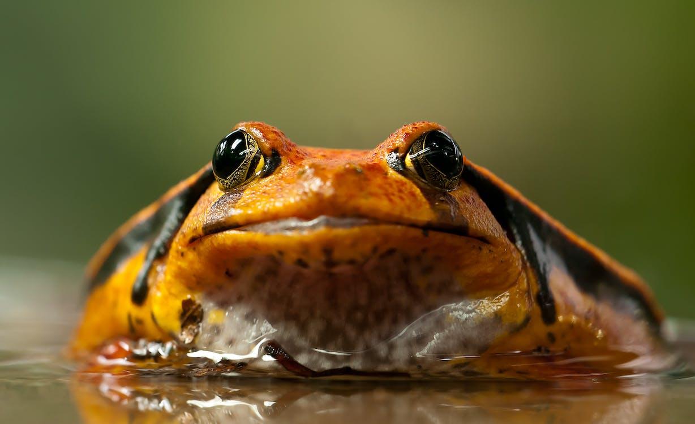 amfibi, anura, domates kurbağası