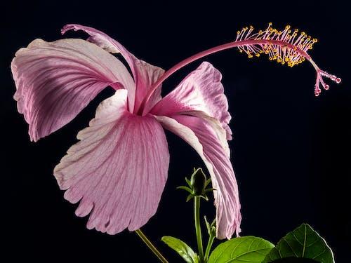 Foto d'estoc gratuïta de flor, flora, florir, Hibisc