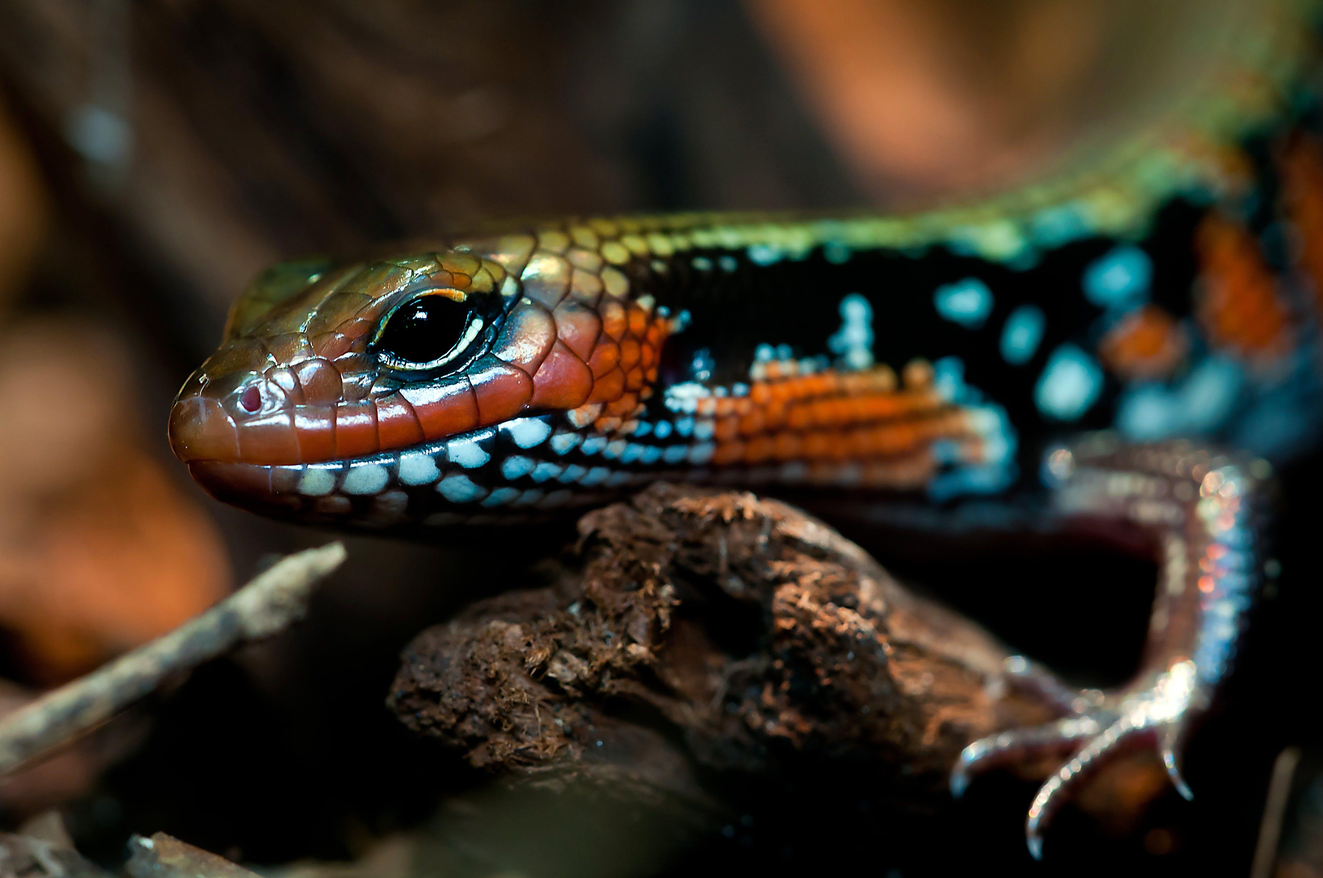 Orange Black Green Lizard