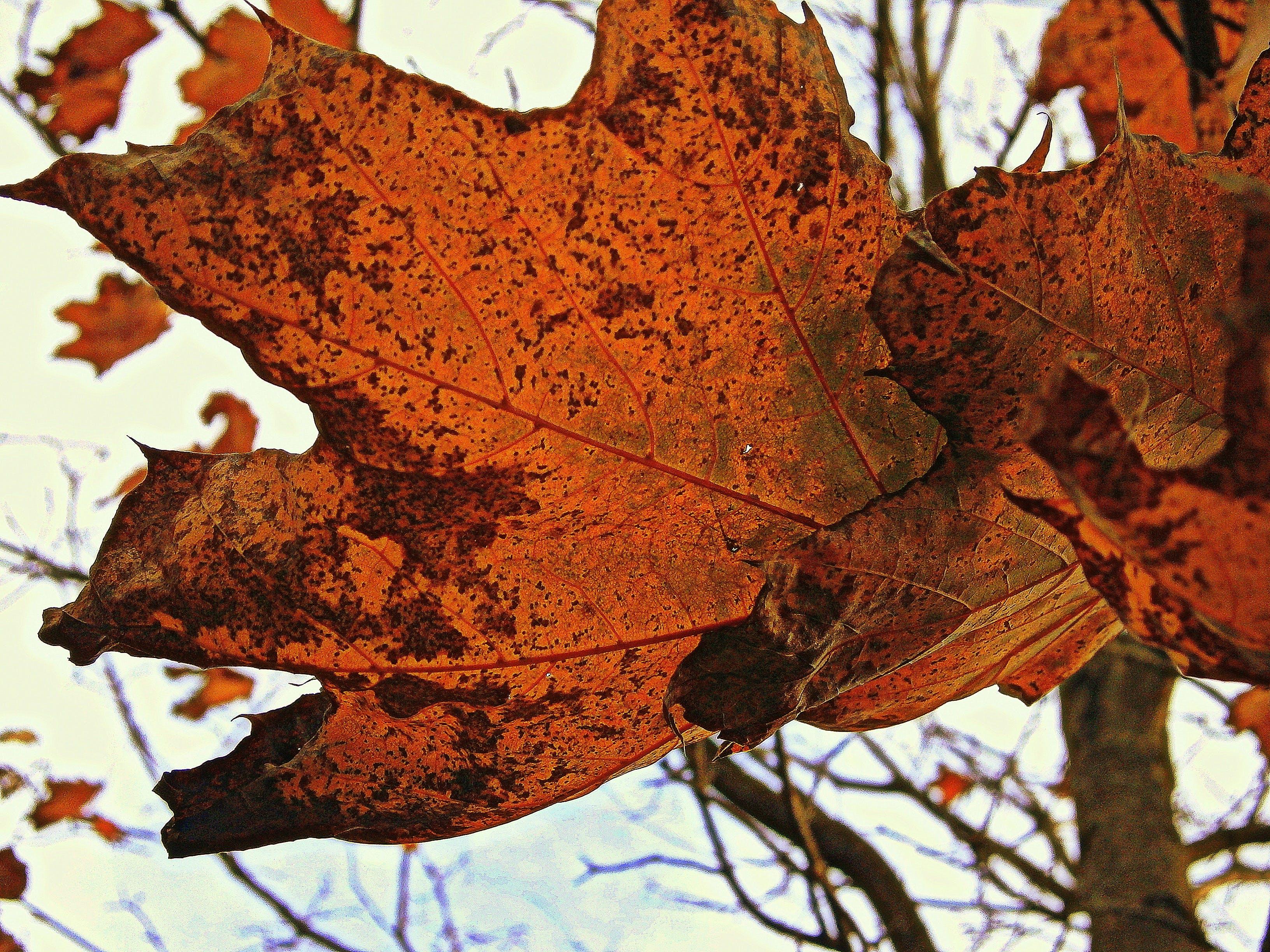 Free stock photo of red, leaf, orange, bright